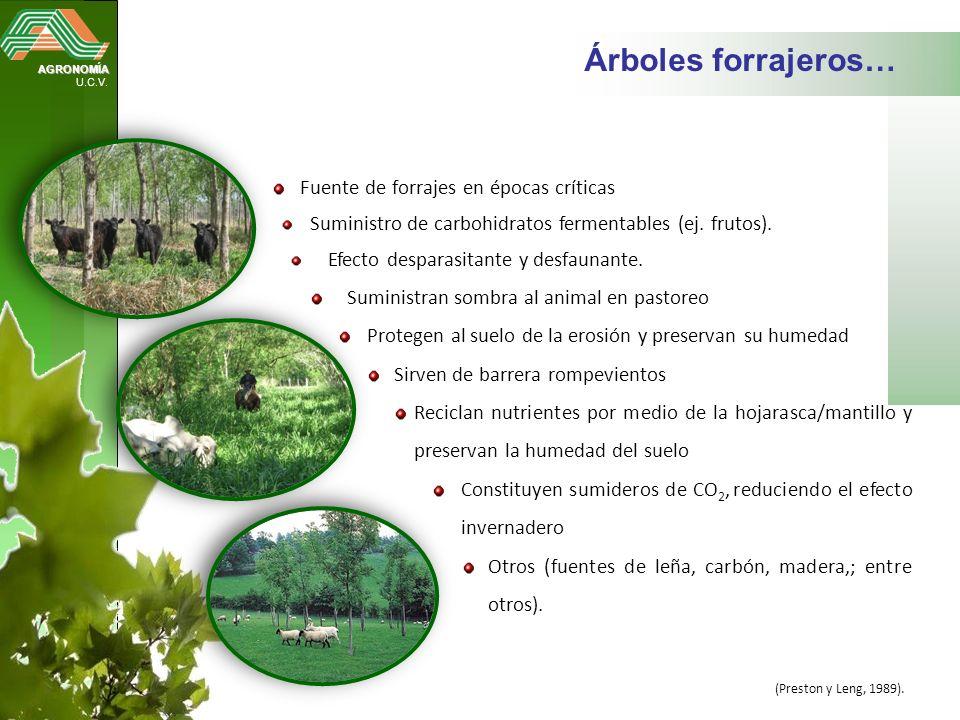 AGRONOMÍA U.C.V. Árboles forrajeros… Fuente de forrajes en épocas críticas Suministro de carbohidratos fermentables (ej. frutos). Efecto desparasitant