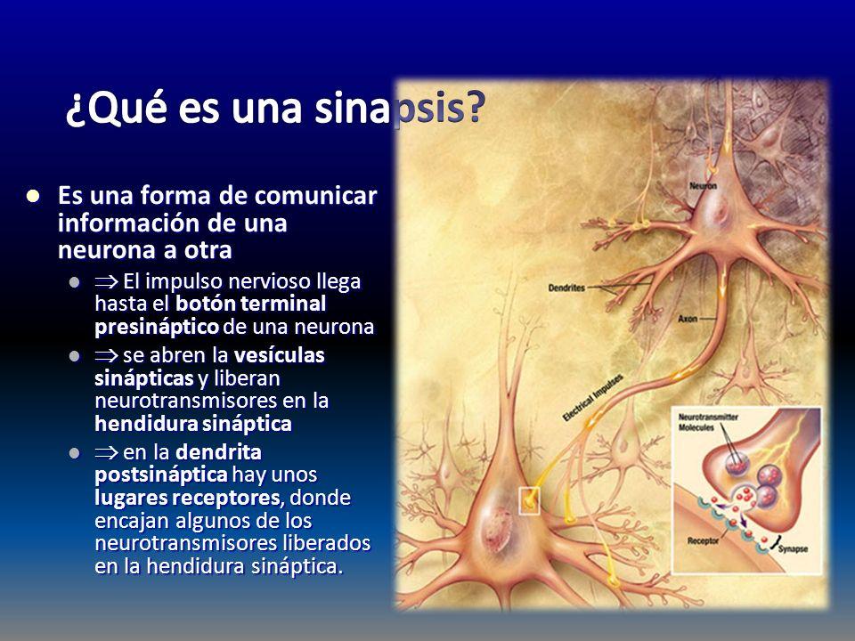 Es una forma de comunicar información de una neurona a otra Es una forma de comunicar información de una neurona a otra El impulso nervioso llega hast