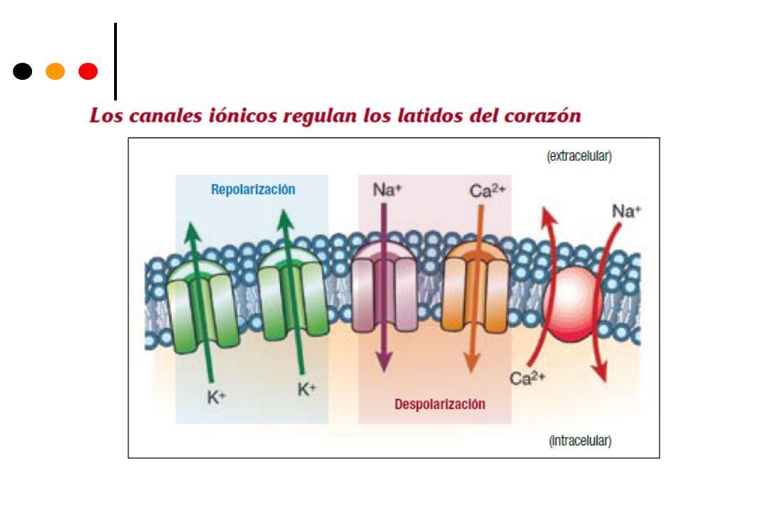 Síndrome de QT corto tipo 2 y 3 El síndrome de QT corto tipo 2 se ha relacionado con dos mutaciones en el gen KCNQ1 que comportan una ganancia de función del canal de potasio, lo que lleva a un acortamiento del potencial de acción con FA.