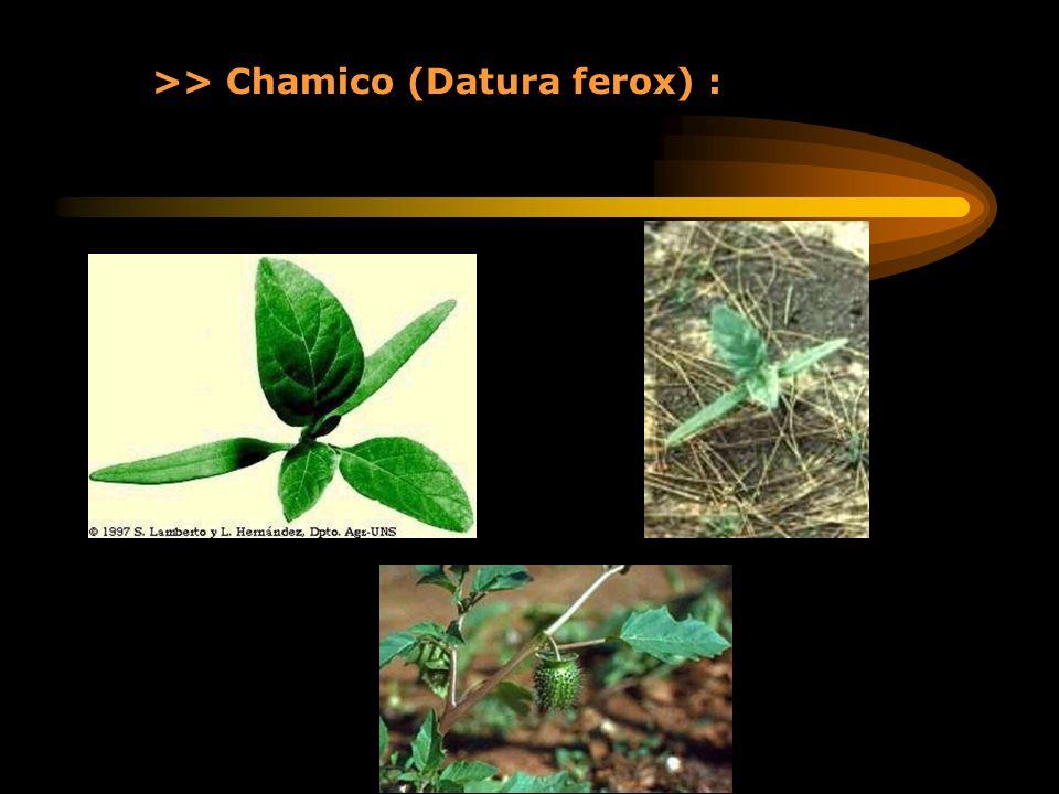 >> Chamico (Datura ferox) :