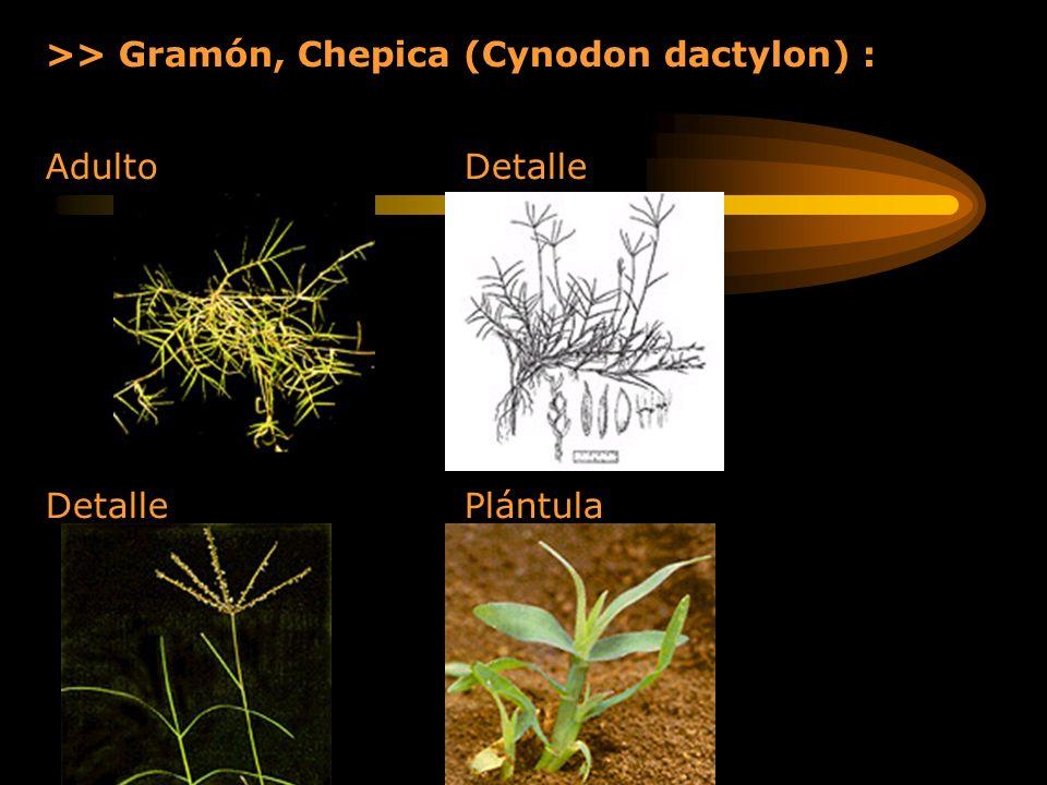 >> Gramón, Chepica (Cynodon dactylon) : Adulto Detalle Detalle Plántula
