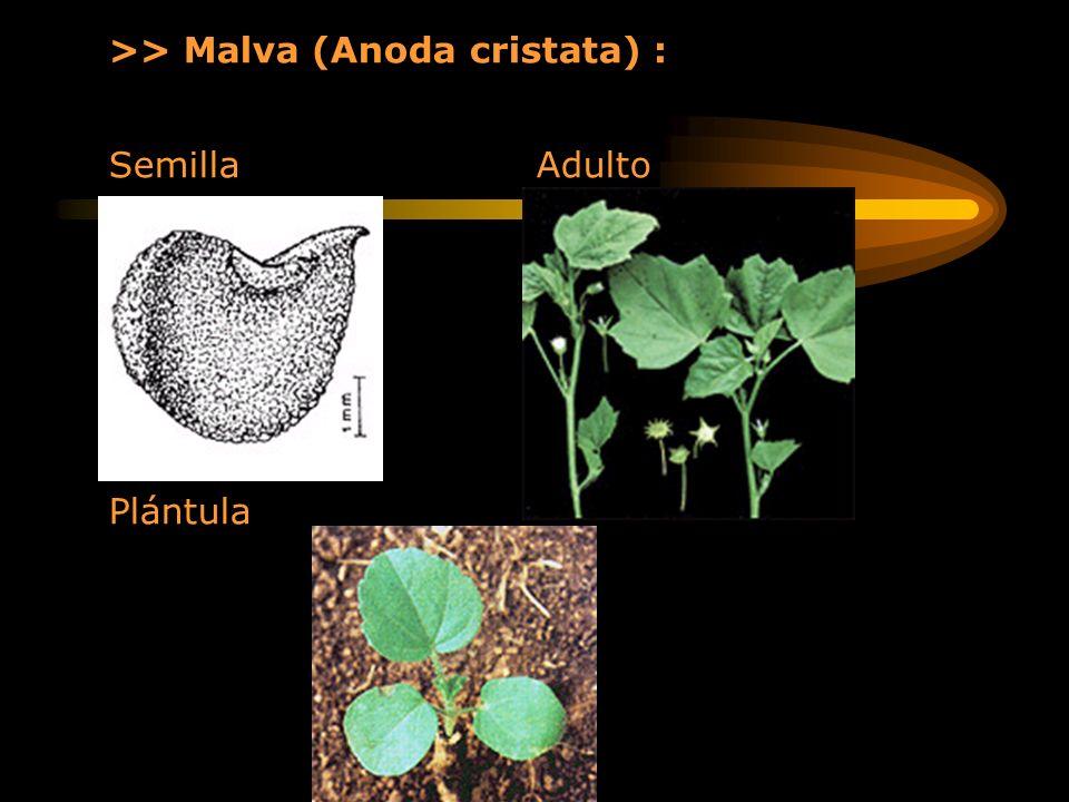 >> Malva (Anoda cristata) : Semilla Adulto Plántula