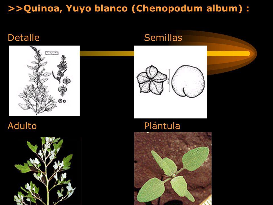 >>Quinoa, Yuyo blanco (Chenopodum album) : Detalle Semillas Adulto Plántula