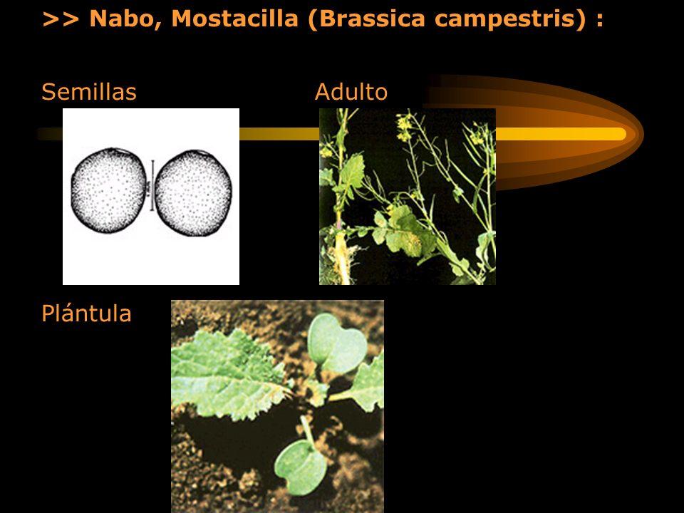 >> Nabo, Mostacilla (Brassica campestris) : Semillas Adulto Plántula