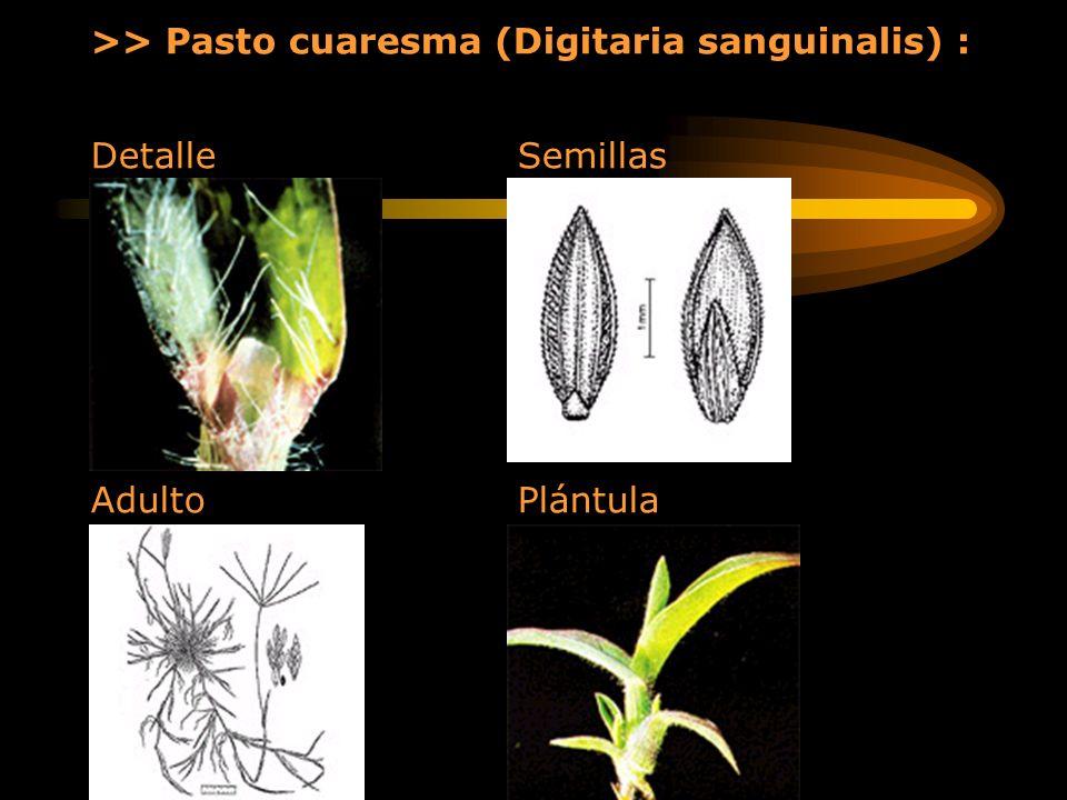 >> Pasto cuaresma (Digitaria sanguinalis) : Detalle Semillas Adulto Plántula