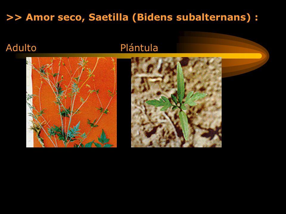 >> Amor seco, Saetilla (Bidens subalternans) : Adulto Plántula