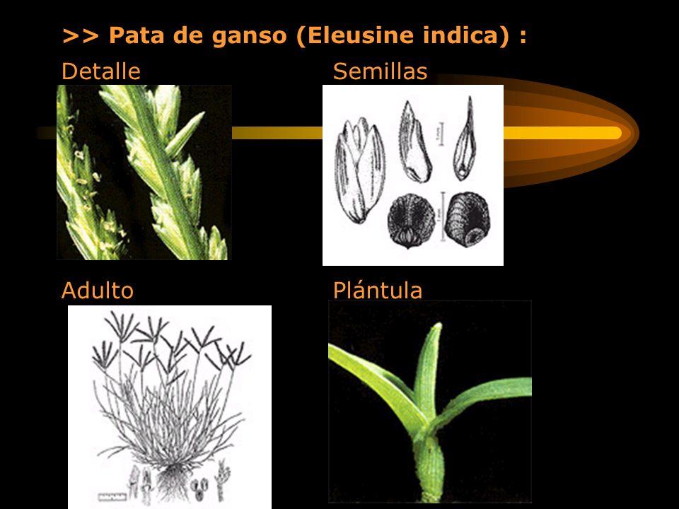 >> Pata de ganso (Eleusine indica) : Detalle Semillas Adulto Plántula