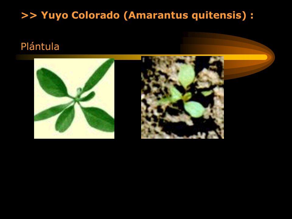 >> Yuyo Colorado (Amarantus quitensis) : Plántula
