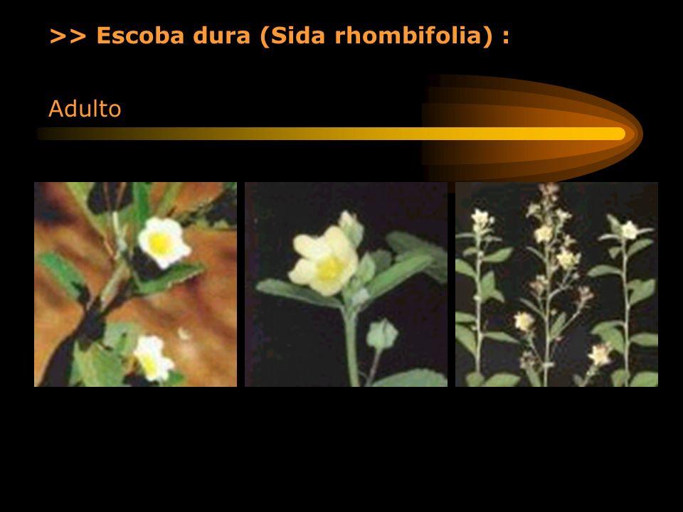 >> Escoba dura (Sida rhombifolia) : Adulto