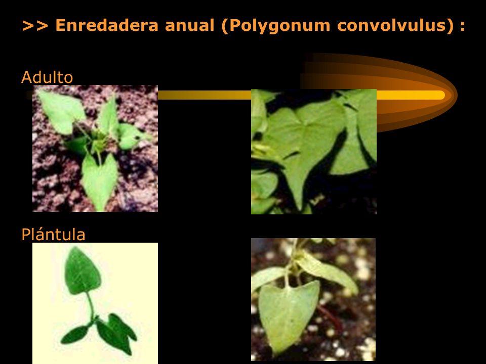 >> Enredadera anual (Polygonum convolvulus) : Adulto Plántula