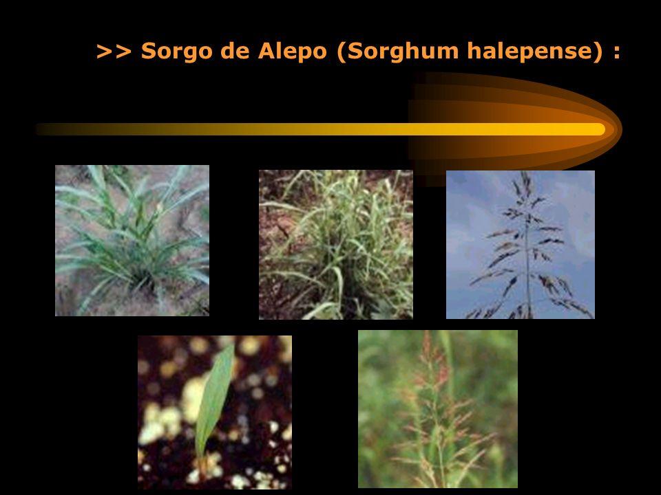 >> Sorgo de Alepo (Sorghum halepense) :