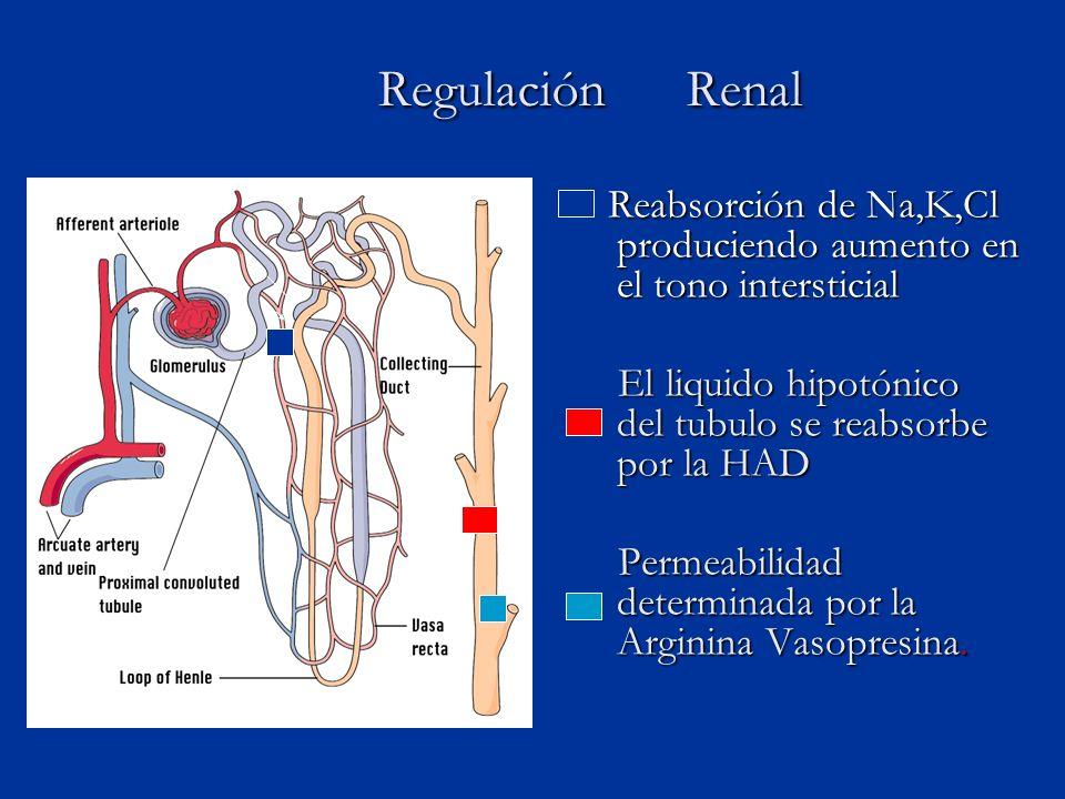 Regulación Renal Regulación Renal Reabsorción de Na,K,Cl produciendo aumento en el tono intersticial El liquido hipotónico del tubulo se reabsorbe por la HAD Permeabilidad determinada por la Arginina Vasopresina.