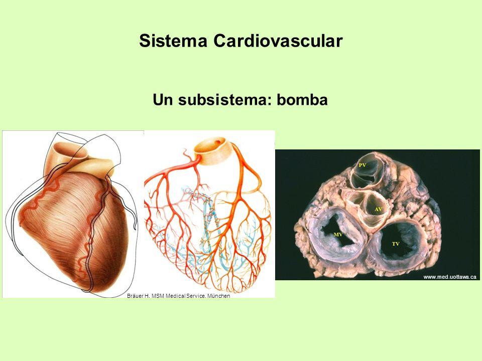Sistema Cardiovascular Un subsistema: bomba Bräuer H. MSM Medical Service. München www.med.uottawa.ca