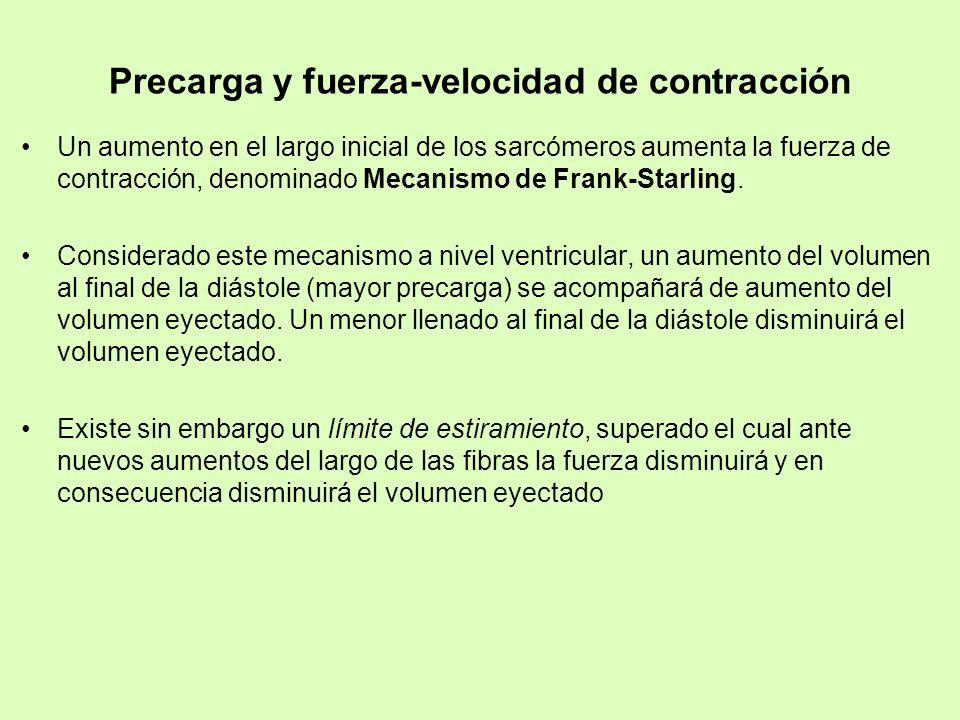 Precarga y fuerza-velocidad de contracción Un aumento en el largo inicial de los sarcómeros aumenta la fuerza de contracción, denominado Mecanismo de