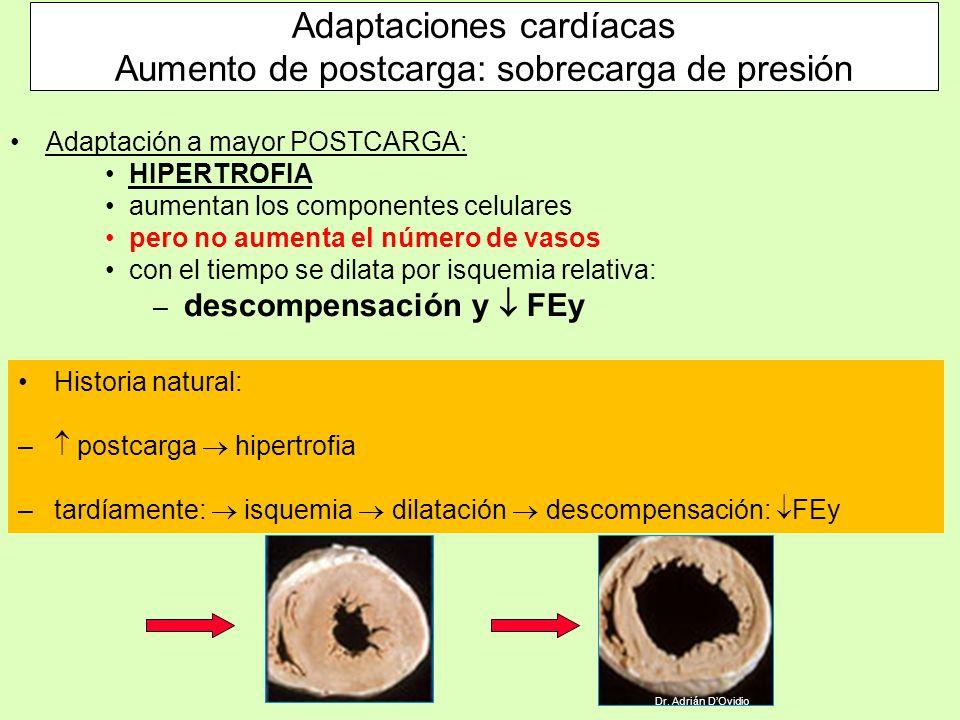 Adaptación a mayor POSTCARGA: HIPERTROFIA aumentan los componentes celulares pero no aumenta el número de vasos con el tiempo se dilata por isquemia r