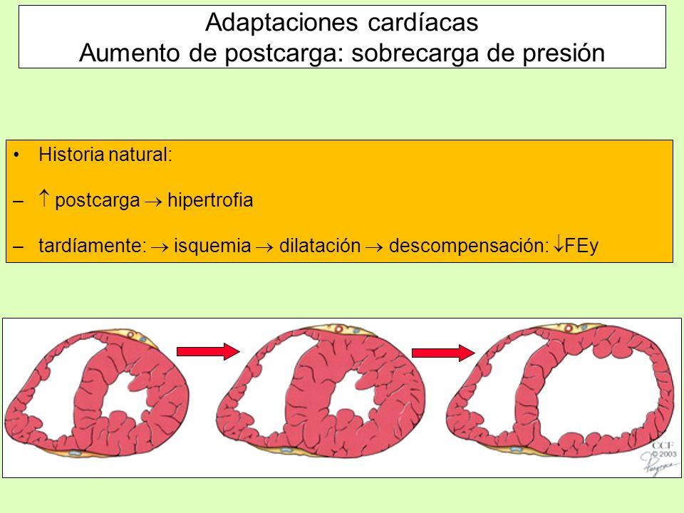 Historia natural: – postcarga hipertrofia –tardíamente: isquemia dilatación descompensación: FEy Adaptaciones cardíacas Aumento de postcarga: sobrecar