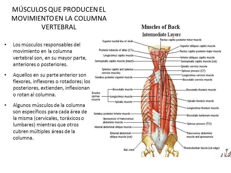 MÚSCULOS QUE PRODUCEN EL MOVIMIENTO EN LA COLUMNA VERTEBRAL Los músculos responsables del movimiento en la columna vertebral son, en su mayor parte, a