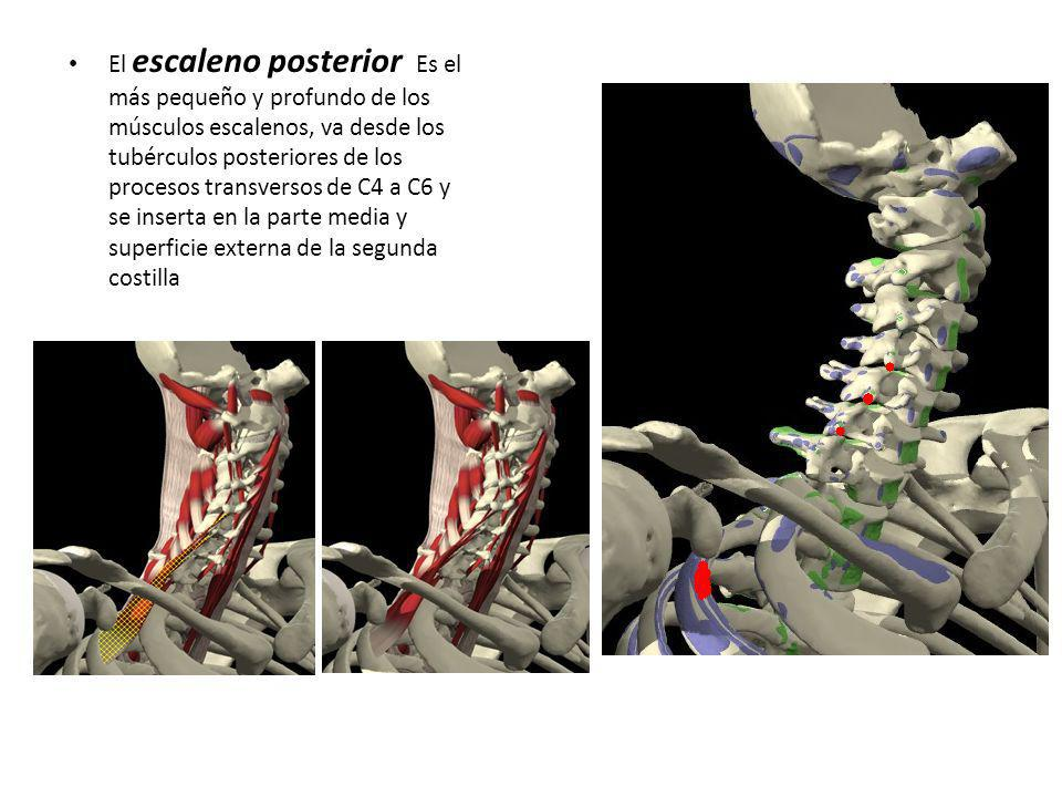 El escaleno posterior Es el más pequeño y profundo de los músculos escalenos, va desde los tubérculos posteriores de los procesos transversos de C4 a