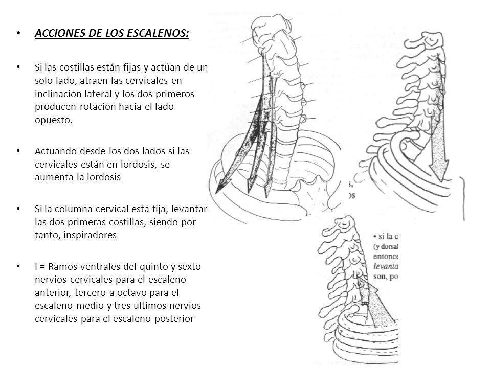 ACCIONES DE LOS ESCALENOS: Si las costillas están fijas y actúan de un solo lado, atraen las cervicales en inclinación lateral y los dos primeros prod