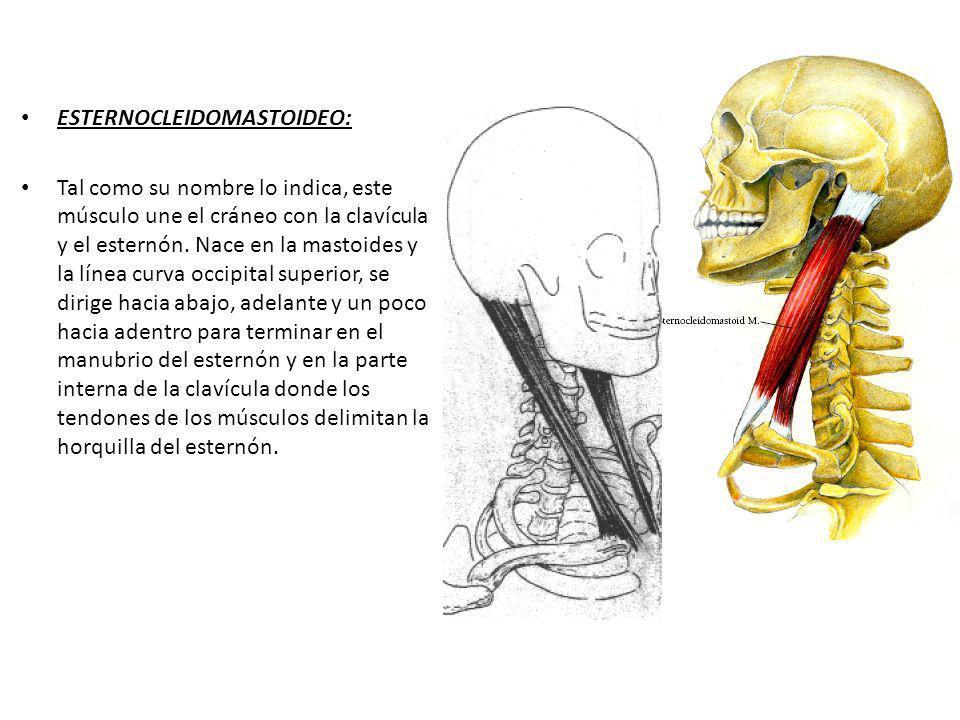 ESTERNOCLEIDOMASTOIDEO: Tal como su nombre lo indica, este músculo une el cráneo con la clavícula y el esternón. Nace en la mastoides y la línea curva
