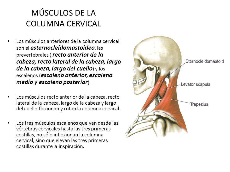 MÚSCULOS DE LA COLUMNA CERVICAL Los músculos anteriores de la columna cervical son el esternocleidomastoideo, las prevertebrales ( recto anterior de l