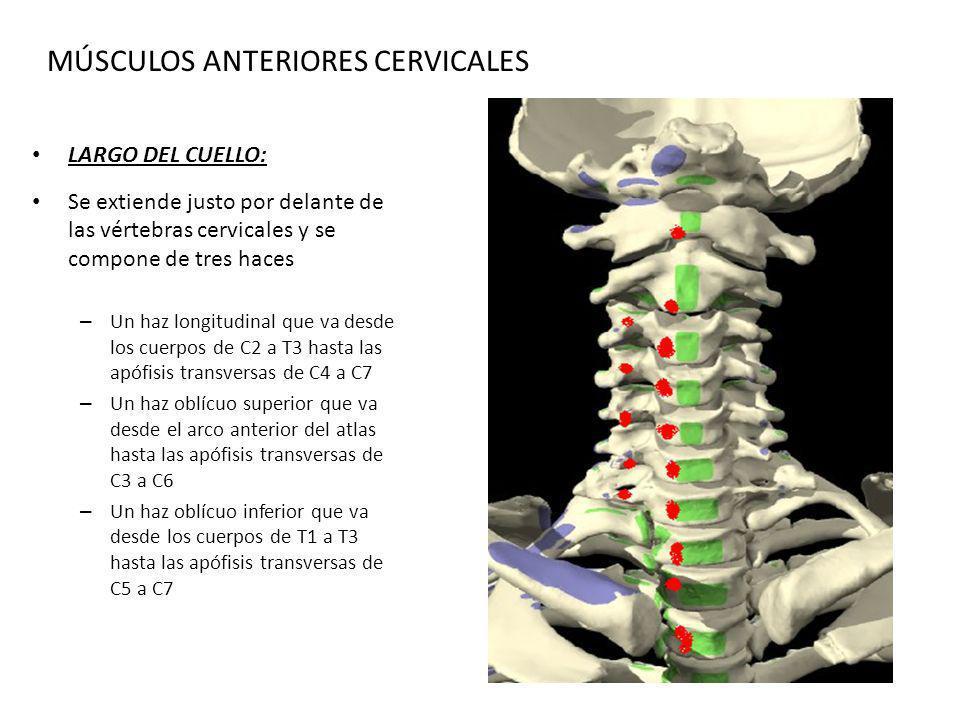 MÚSCULOS ANTERIORES CERVICALES LARGO DEL CUELLO: Se extiende justo por delante de las vértebras cervicales y se compone de tres haces – Un haz longitu