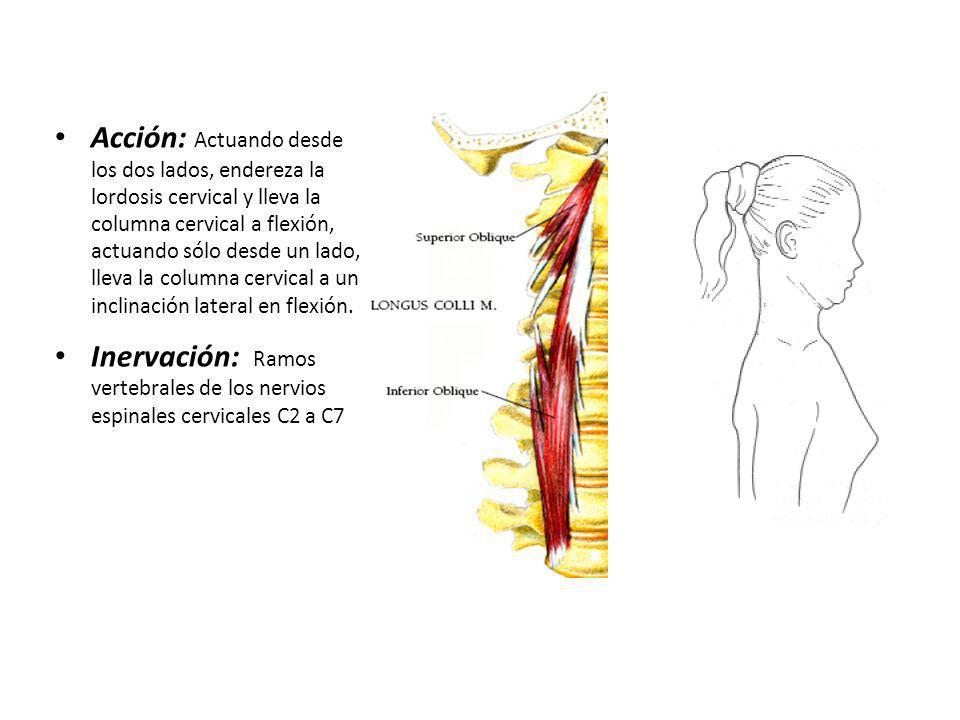 Acción: Actuando desde los dos lados, endereza la lordosis cervical y lleva la columna cervical a flexión, actuando sólo desde un lado, lleva la colum