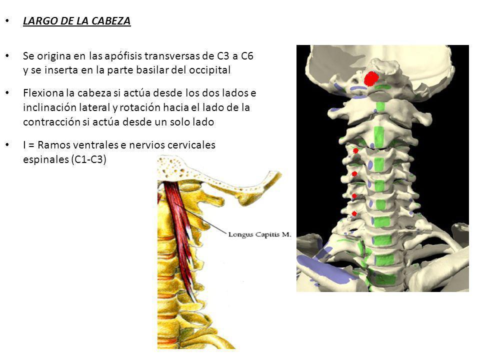 LARGO DE LA CABEZA Se origina en las apófisis transversas de C3 a C6 y se inserta en la parte basilar del occipital Flexiona la cabeza si actúa desde