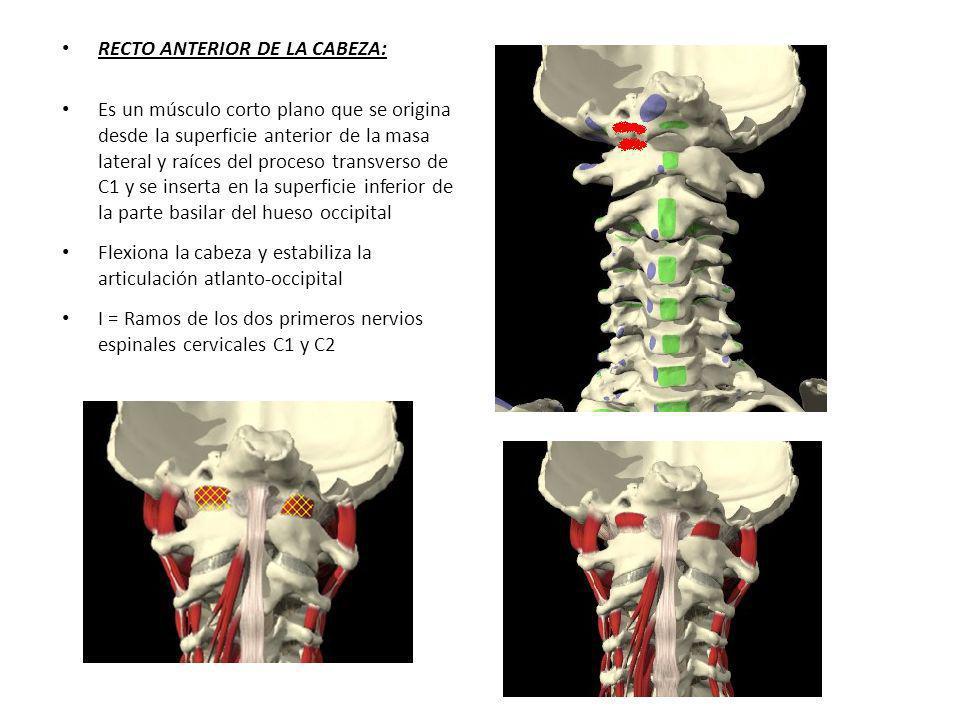 RECTO ANTERIOR DE LA CABEZA: Es un músculo corto plano que se origina desde la superficie anterior de la masa lateral y raíces del proceso transverso