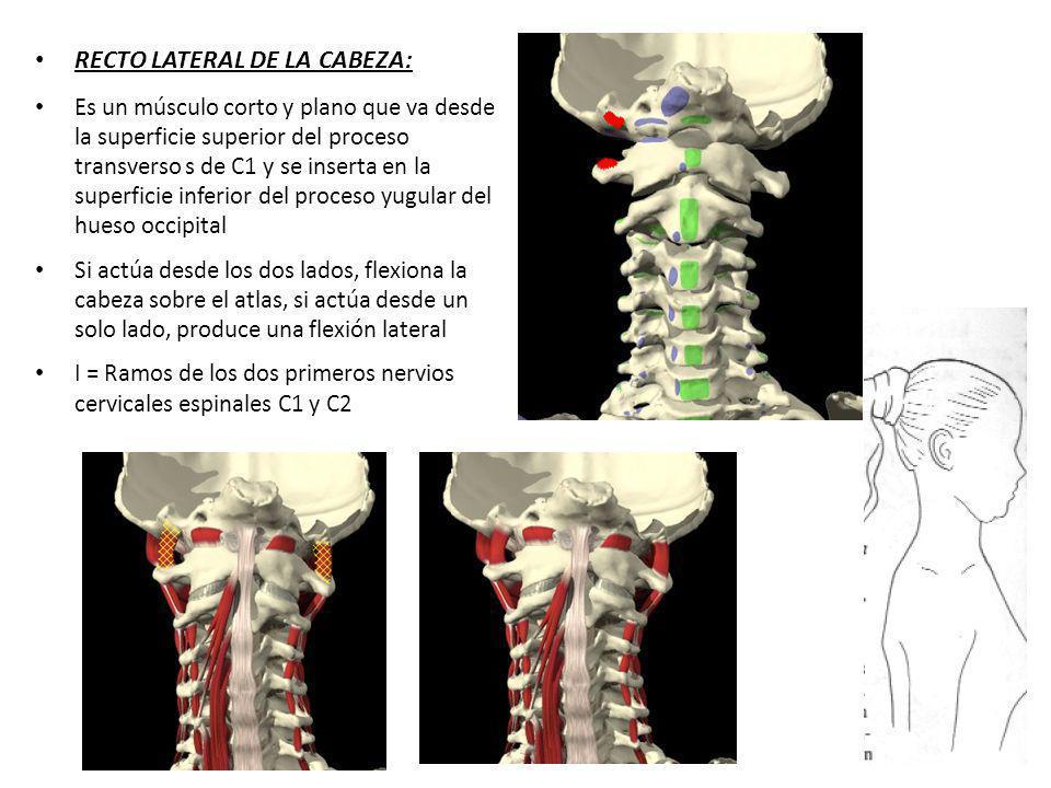 RECTO LATERAL DE LA CABEZA: Es un músculo corto y plano que va desde la superficie superior del proceso transverso s de C1 y se inserta en la superfic