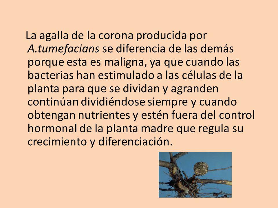 La agalla de la corona producida por A.tumefacians se diferencia de las demás porque esta es maligna, ya que cuando las bacterias han estimulado a las