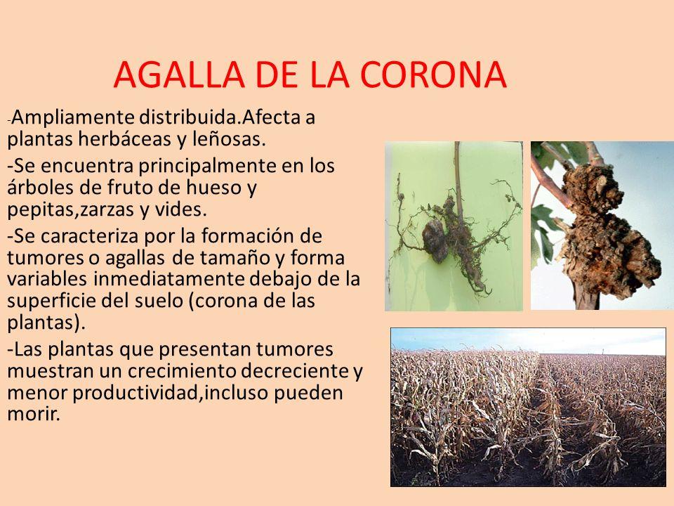 AGALLA DE LA CORONA - Ampliamente distribuida.Afecta a plantas herbáceas y leñosas. -Se encuentra principalmente en los árboles de fruto de hueso y pe
