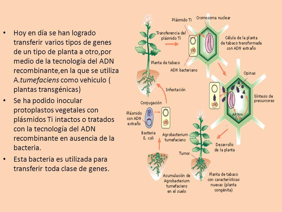 Hoy en día se han logrado transferir varios tipos de genes de un tipo de planta a otro,por medio de la tecnología del ADN recombinante,en la que se ut