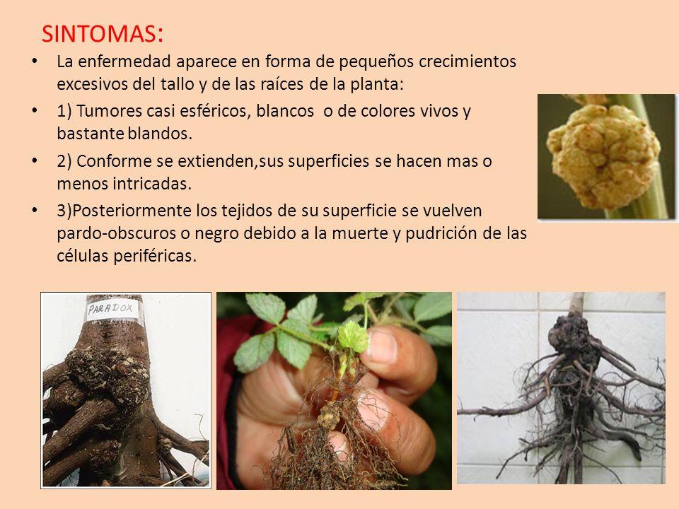 SINTOMAS : La enfermedad aparece en forma de pequeños crecimientos excesivos del tallo y de las raíces de la planta: 1) Tumores casi esféricos, blanco