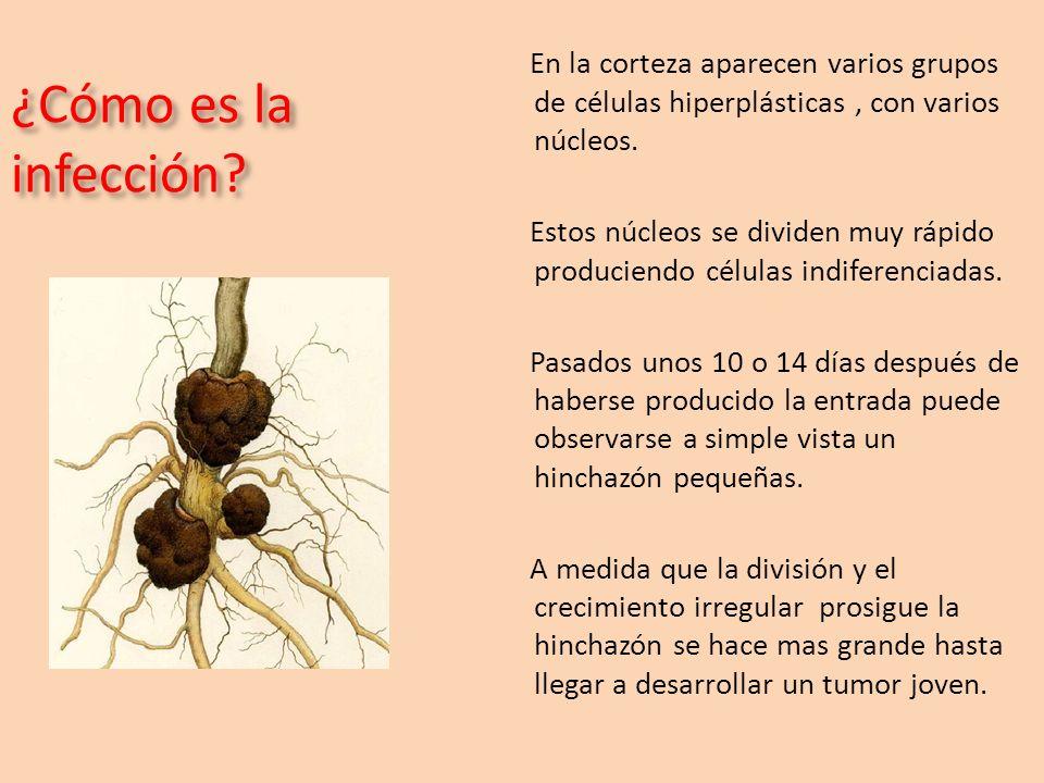 ¿Cómo es la infección? En la corteza aparecen varios grupos de células hiperplásticas, con varios núcleos. Estos núcleos se dividen muy rápido produci