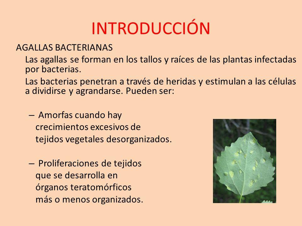 INTRODUCCIÓN AGALLAS BACTERIANAS Las agallas se forman en los tallos y raíces de las plantas infectadas por bacterias. Las bacterias penetran a través