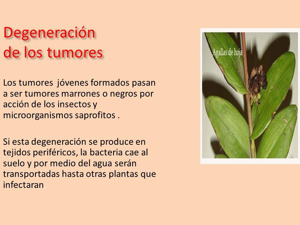 Degeneración de los tumores Los tumores jóvenes formados pasan a ser tumores marrones o negros por acción de los insectos y microorganismos saprofitos