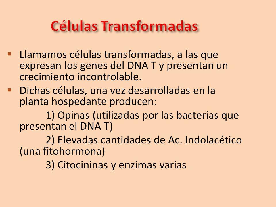Llamamos células transformadas, a las que expresan los genes del DNA T y presentan un crecimiento incontrolable. Dichas células, una vez desarrolladas