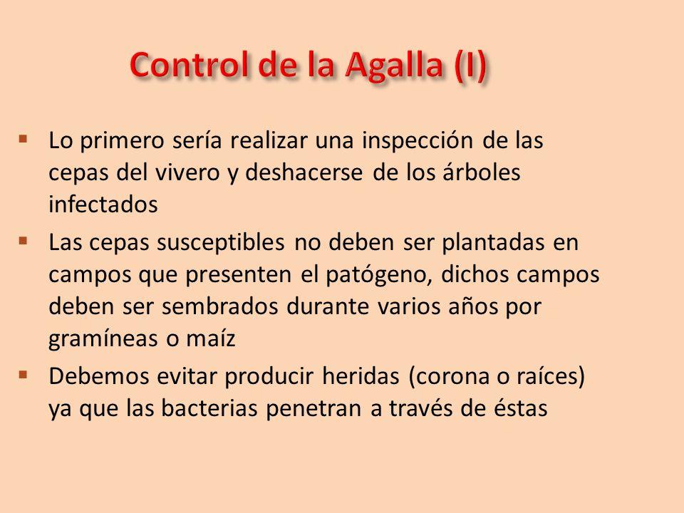 Lo primero sería realizar una inspección de las cepas del vivero y deshacerse de los árboles infectados Las cepas susceptibles no deben ser plantadas