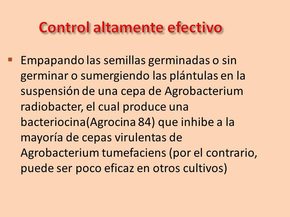 Empapando las semillas germinadas o sin germinar o sumergiendo las plántulas en la suspensión de una cepa de Agrobacterium radiobacter, el cual produc