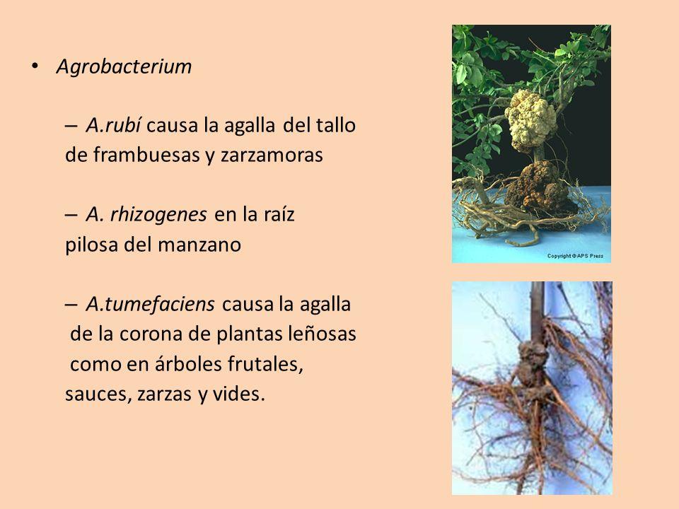 Agrobacterium – A.rubí causa la agalla del tallo de frambuesas y zarzamoras – A. rhizogenes en la raíz pilosa del manzano – A.tumefaciens causa la aga