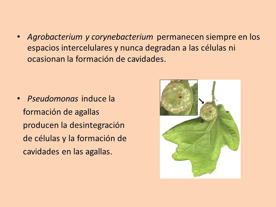 Agrobacterium y corynebacterium permanecen siempre en los espacios intercelulares y nunca degradan a las células ni ocasionan la formación de cavidade