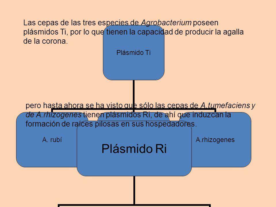 Plásmido Ti A. rubíA.tumefaciensA.rhizogenes Plásmido Ri A.tumefaciensA.rhizogenes Las cepas de las tres especies de Agrobacterium poseen plásmidos Ti