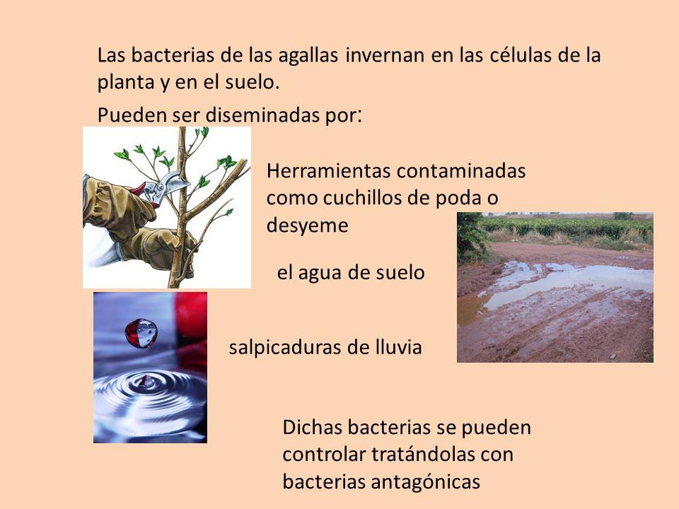 salpicaduras de lluvia Las bacterias de las agallas invernan en las células de la planta y en el suelo. Pueden ser diseminadas por : el agua de suelo