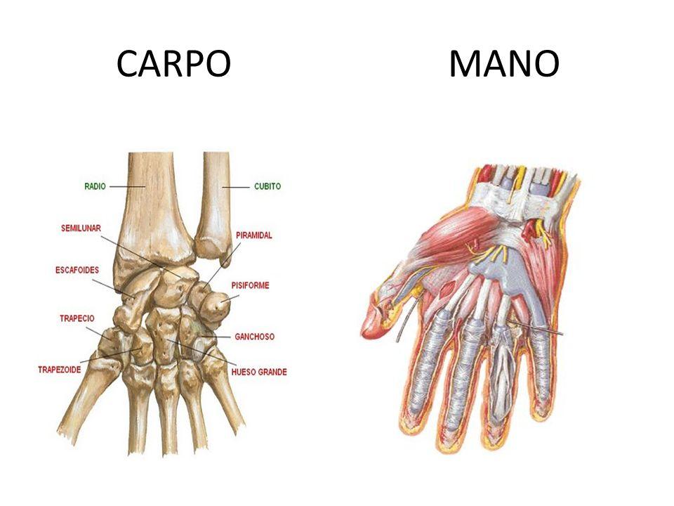 CARPO MANO