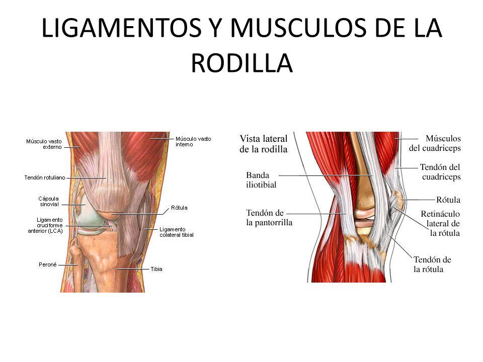 LIGAMENTOS Y MUSCULOS DE LA RODILLA