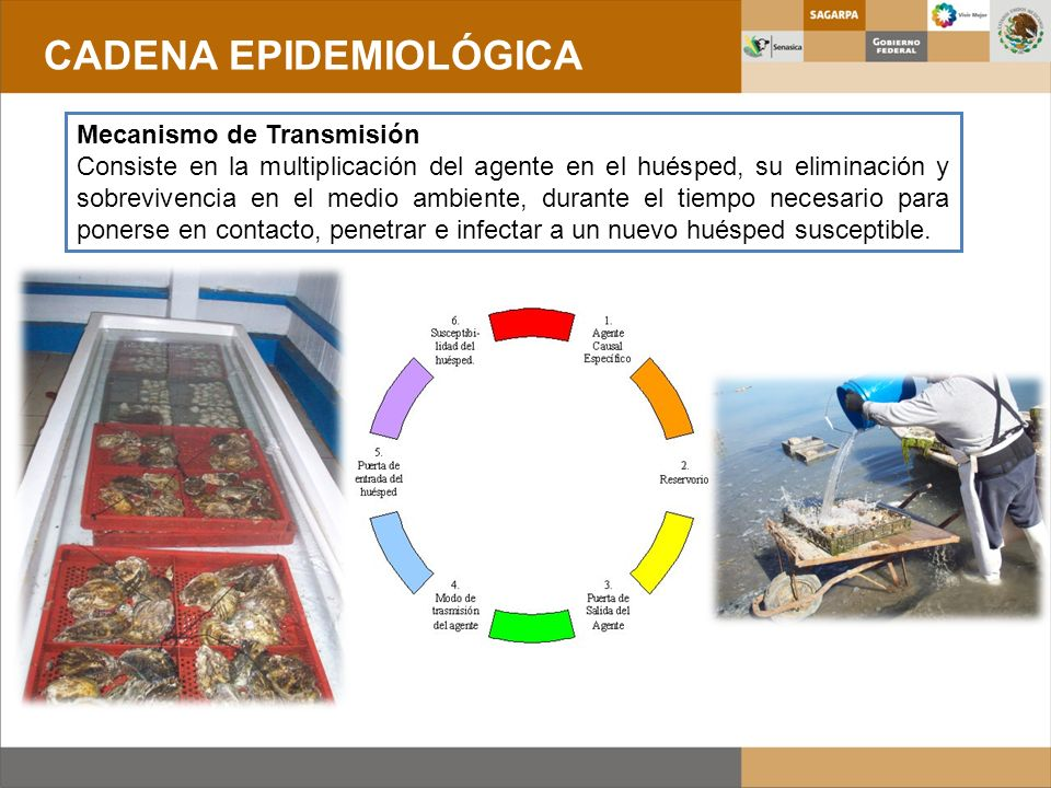 Mecanismo de Transmisión Consiste en la multiplicación del agente en el huésped, su eliminación y sobrevivencia en el medio ambiente, durante el tiemp