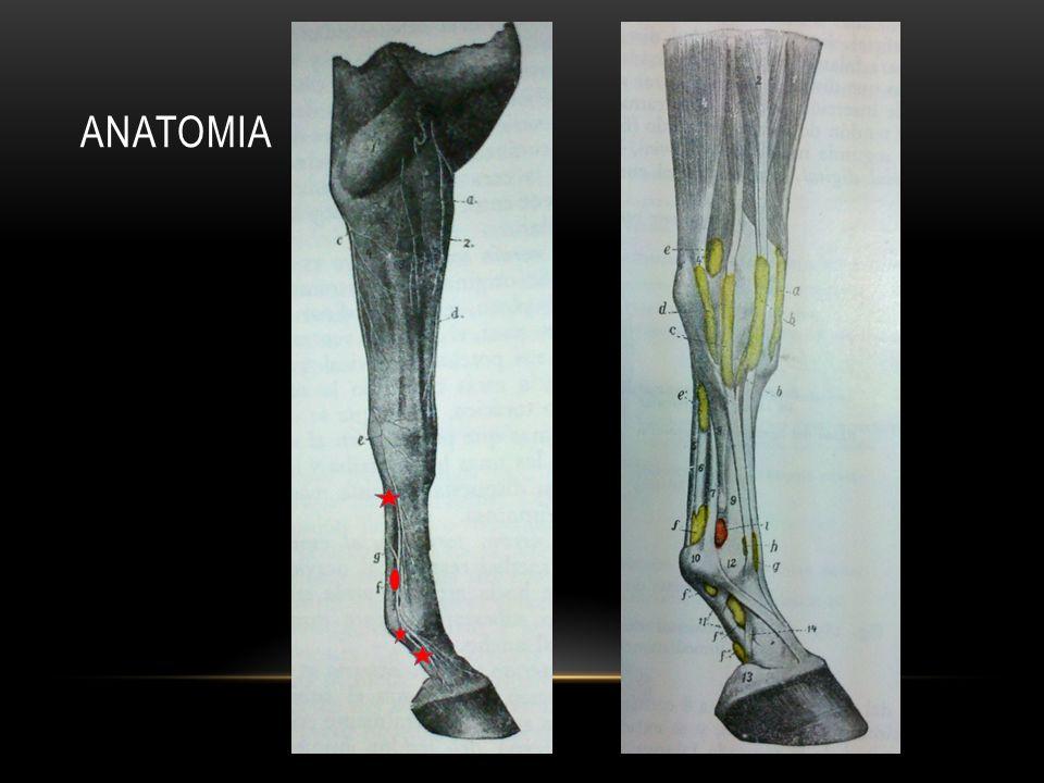 A nivel medio de la cuartilla Justo por encima de los cartilagos alares Palpar el paquete neurovascular Entre el hueso de la falange y los tendones flexores Aguja 25g, SC, paralelo al nervio Bloqueo: talones, ½ caudal del pie y banda coronaria PALMAR DIGITAL