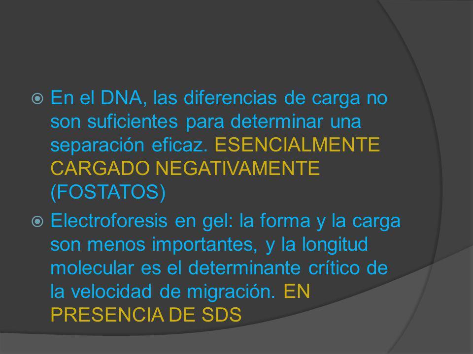 En el DNA, las diferencias de carga no son suficientes para determinar una separación eficaz. ESENCIALMENTE CARGADO NEGATIVAMENTE (FOSTATOS) Electrofo