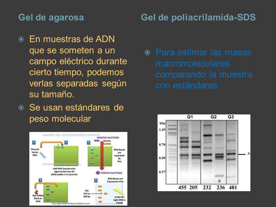 Gel de agarosaGel de poliacrilamida-SDS En muestras de ADN que se someten a un campo eléctrico durante cierto tiempo, podemos verlas separadas según s